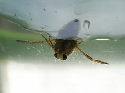 Water boatmen bug on the surface of a pool.