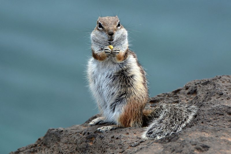 Chipmunk eating outdoors.