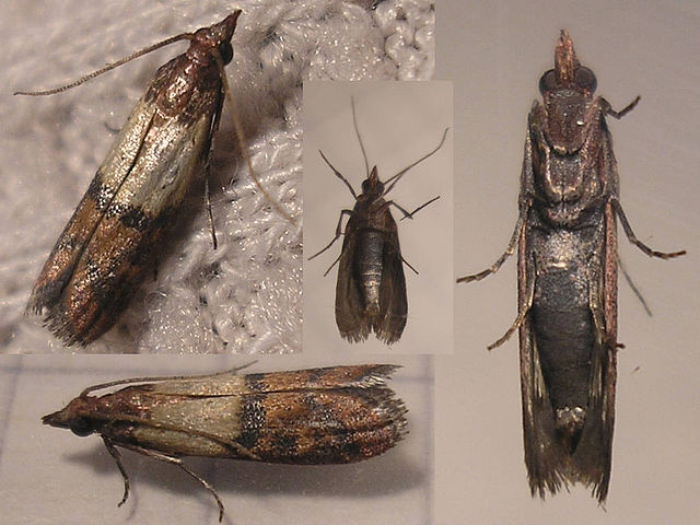 Indian meal moth bite.