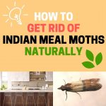 How to Get Rid of Indian Meal Moths (Larvae and Eggs)