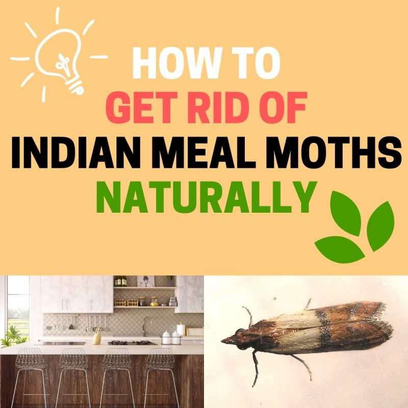 How to get rid of Indian meal moths naturally.