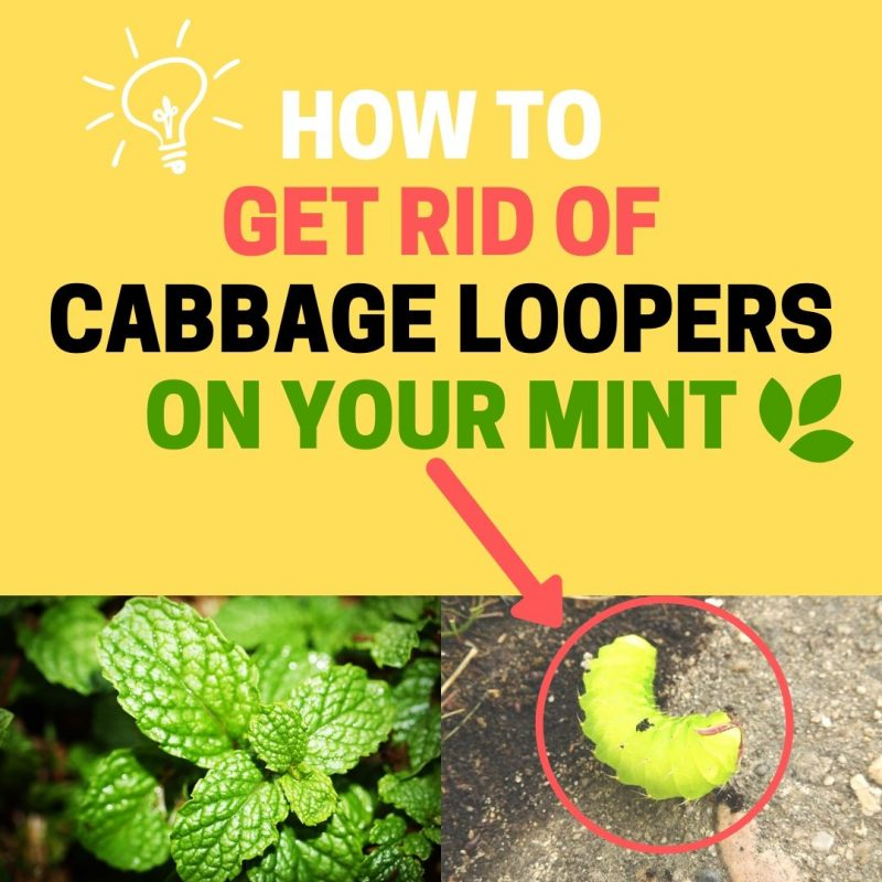How to get rid of cabbage loopers on mint plant