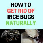 How to Get Rid of Rice Bugs (Rice Weevils) Naturally