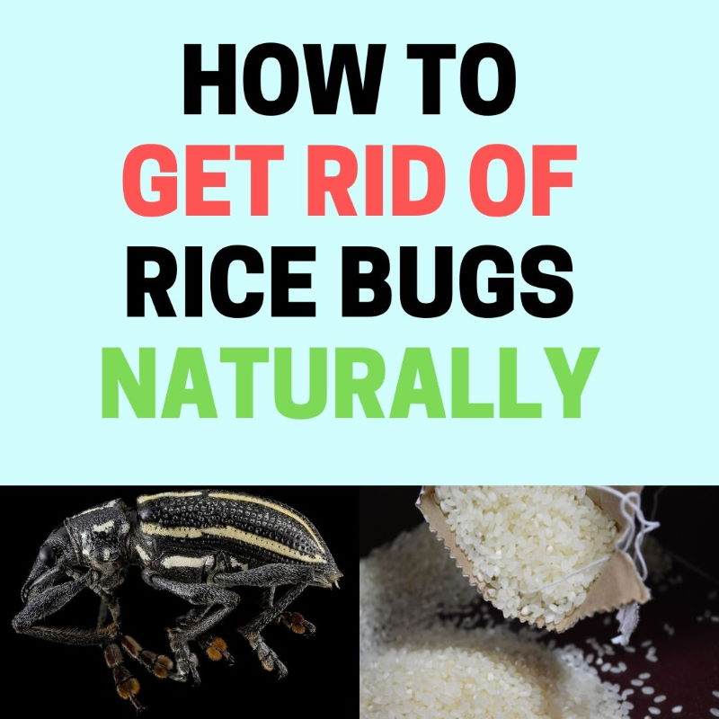 How to get rid of rice bugsnaturally.
