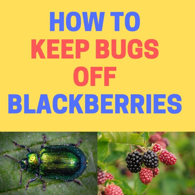 How to keep bugs off blackberry bushes.