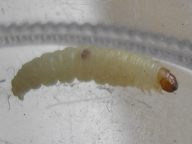 Indian meal moth larvae killer.