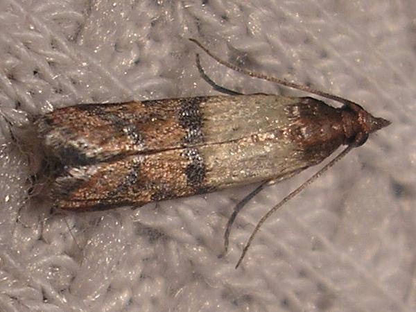 Indian meal moth wings.