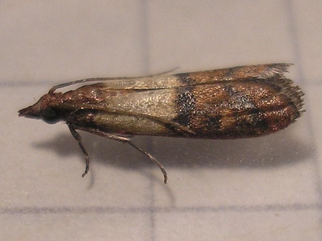 Meal moth behavior