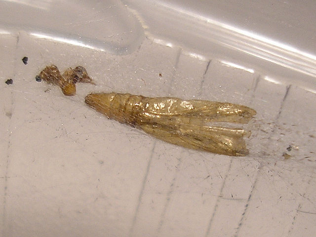Meal moth cocoon after pupate.
