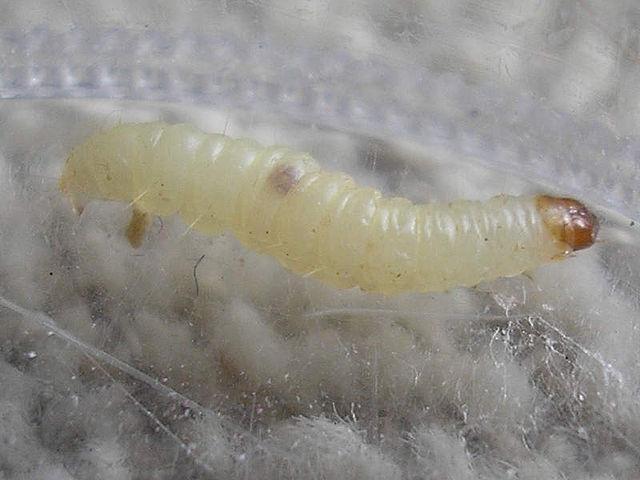 Indian meal moth larvae.