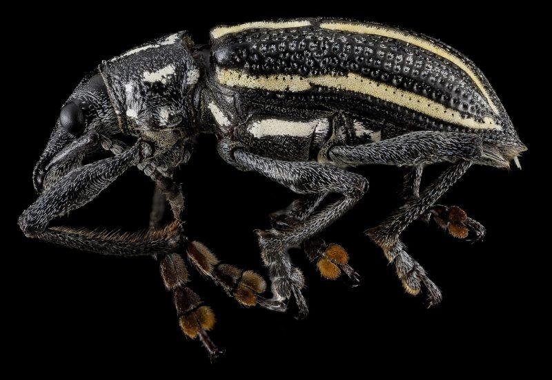 Rice bug bite.