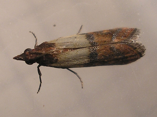 What do meal moths eat?