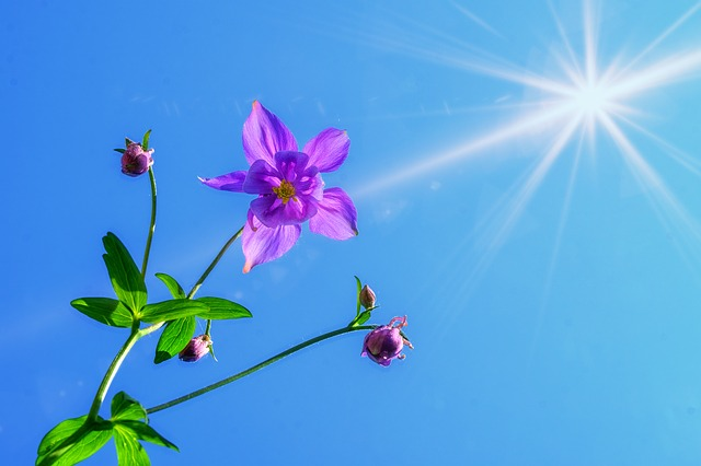 Columbine flower outdoors.