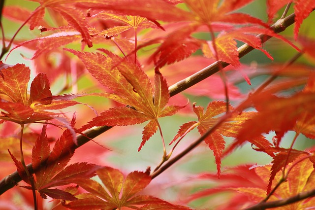 Japanese maple pests.