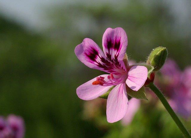 Geranium plant.