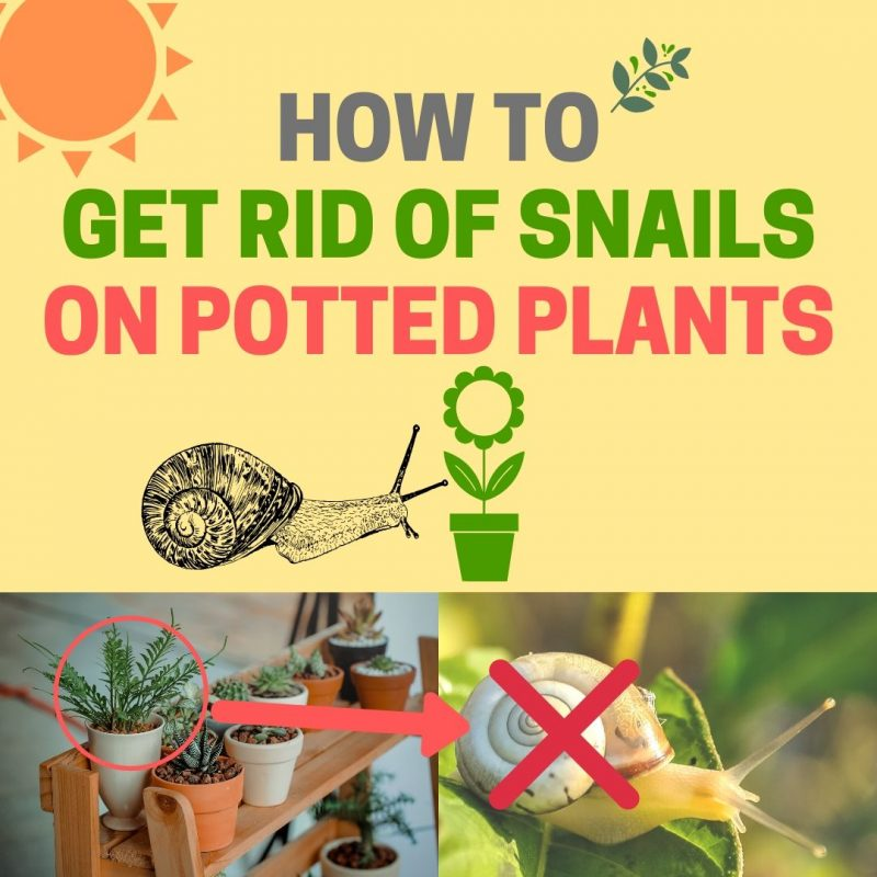 How to get rid of snails on potted plants.