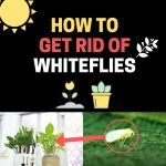 How to Get Rid of Whiteflies on Indoor Plants Naturally (Fast)