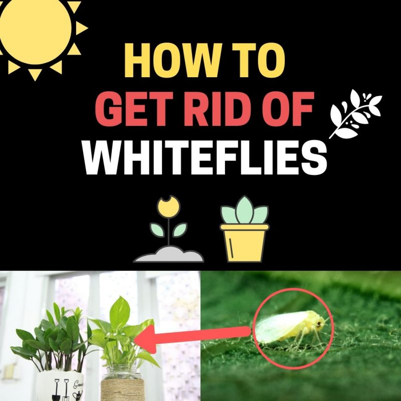 Learn how to get rid of whiteflies on indoor plants.