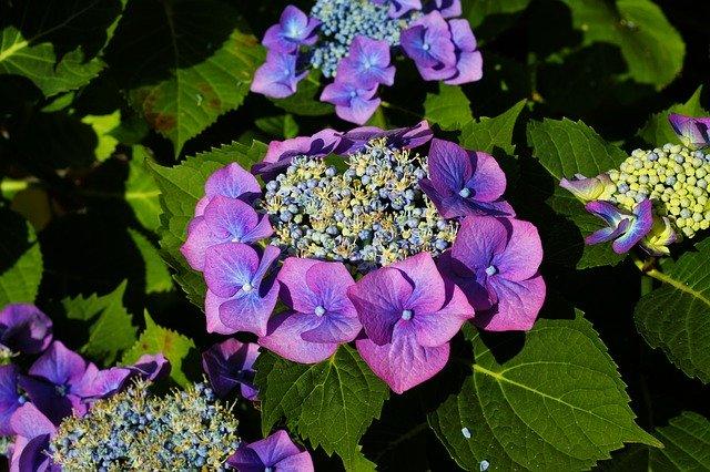 Hydrangea plant.