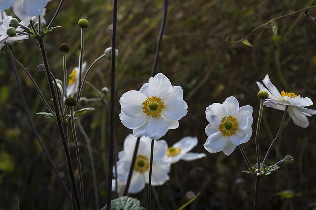 Japanese anemone bloom.