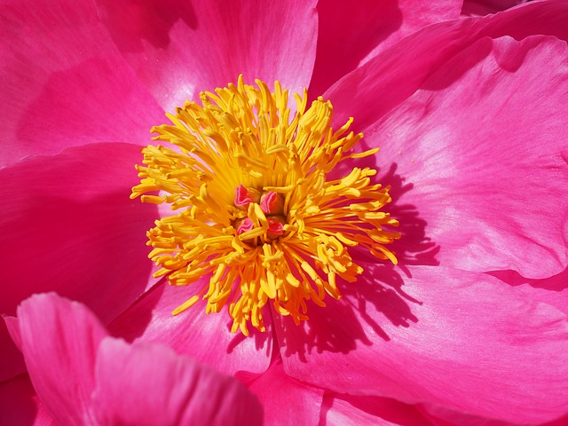 Peony flower blooms are disliked by slugs.