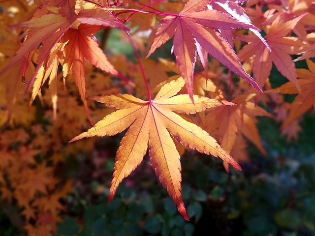 Acer tree leaves.