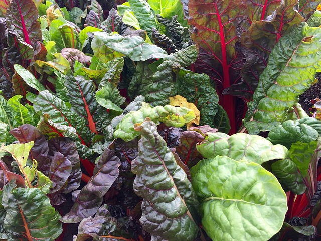 Swiss chard with leaf miners.