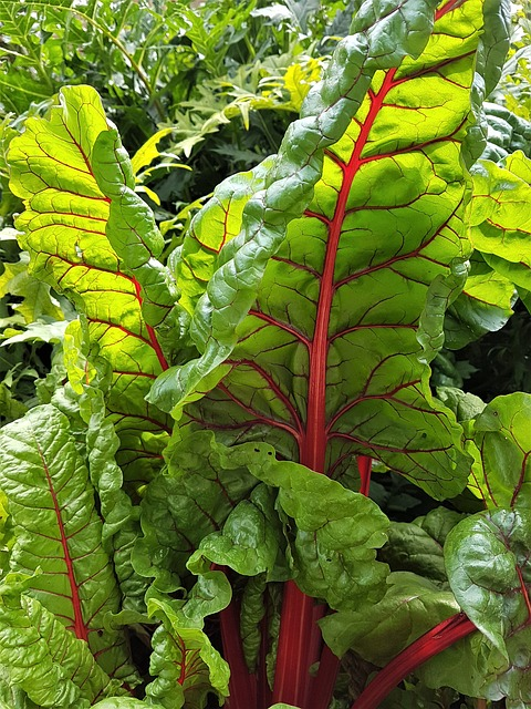 Curly top on Swiss chard.