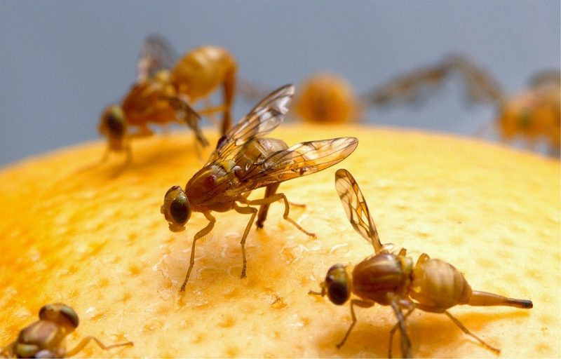 Fruit flies.