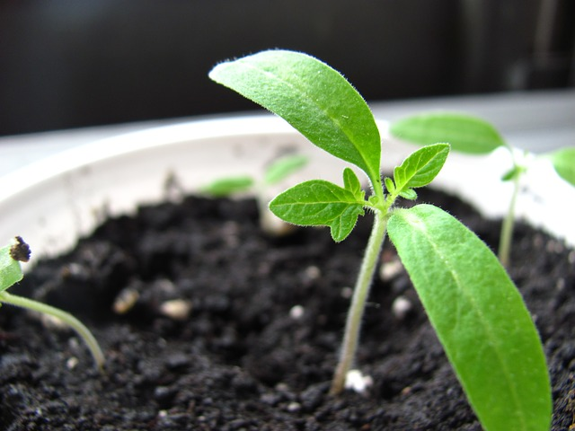 Seedlings with no fungus gnats.