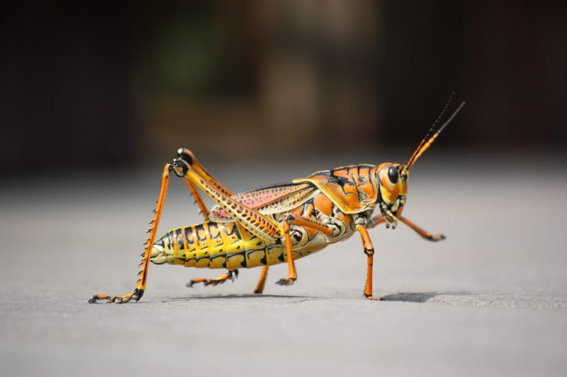 Grasshoppers inside house.