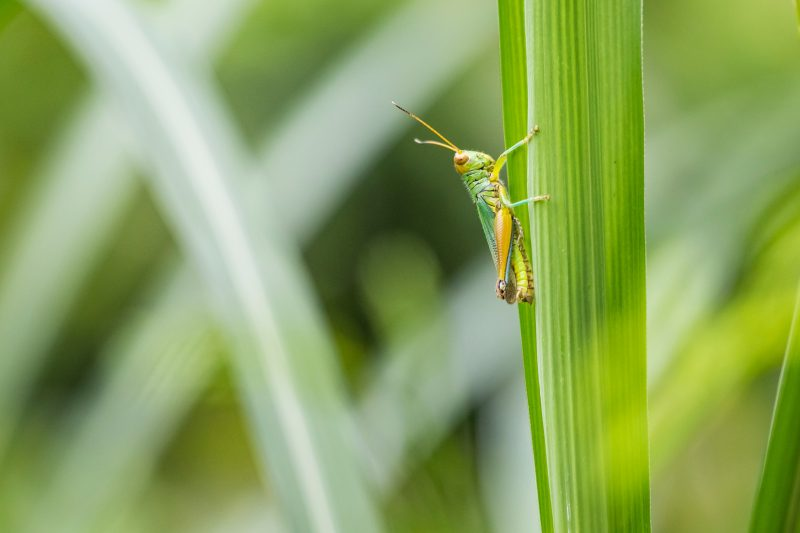 Grasshopper eating a plant.