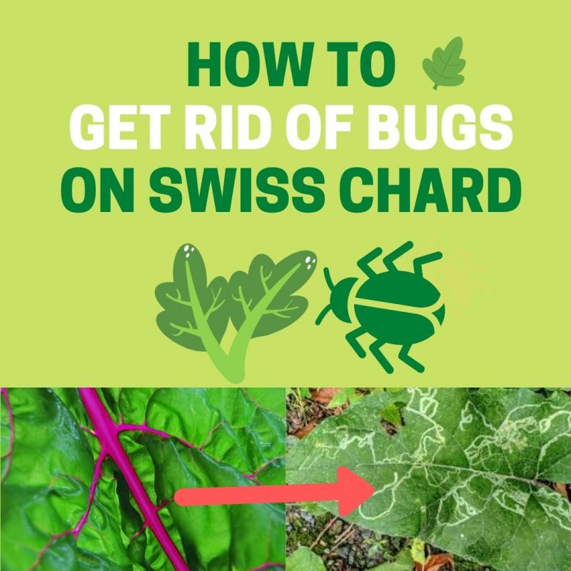How To Get Rid Of Bugs In Swiss Chard Naturally Bugwiz