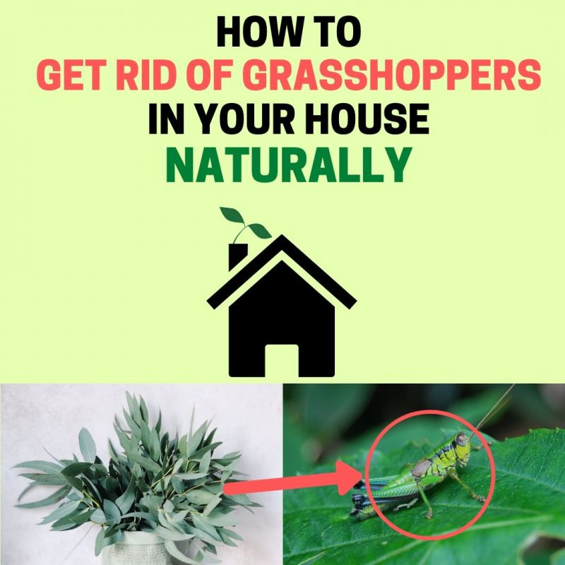 How to get rid of grasshoppers in house.