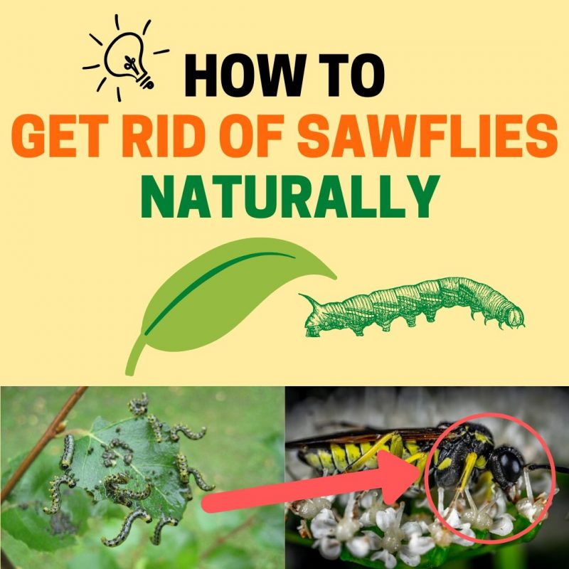 How to get rid of sawflies.