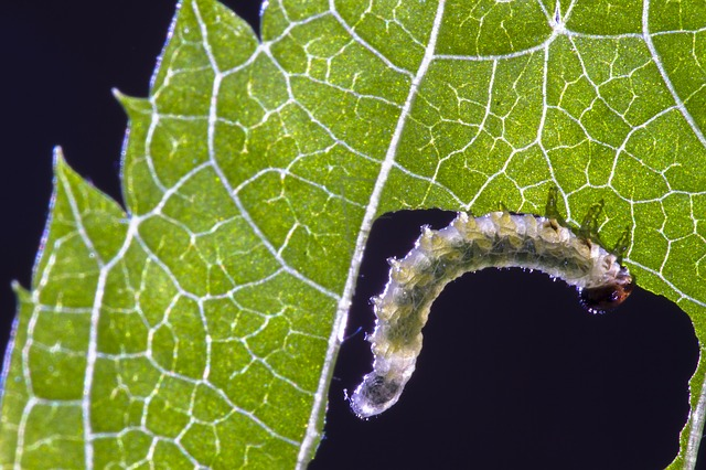 Sawfly larvae eating plants.