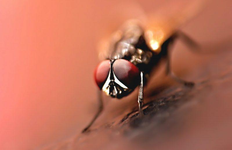 Housefly appearance macro.