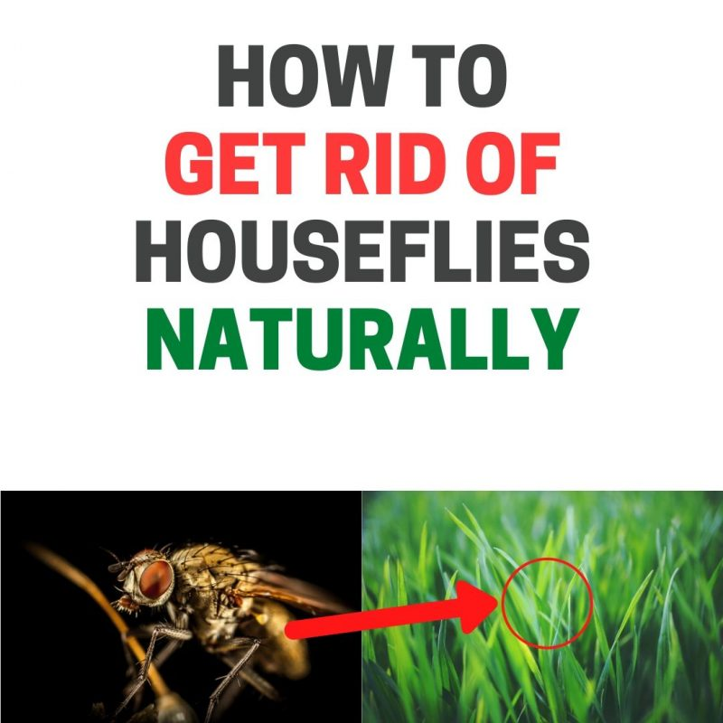 How to get rid of houseflies.