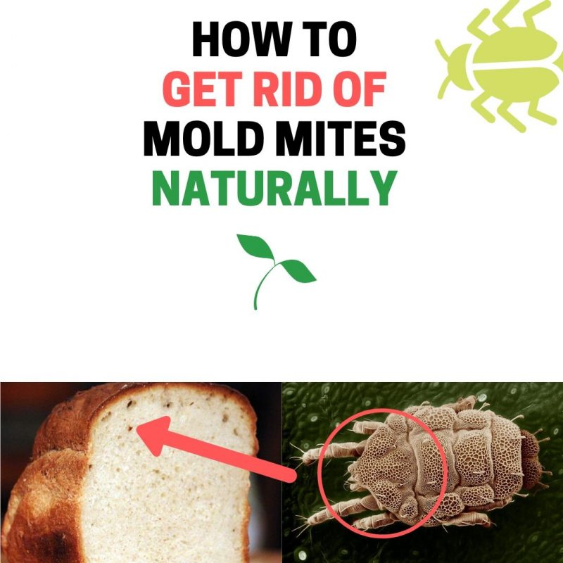 How to get rid of mold mites.