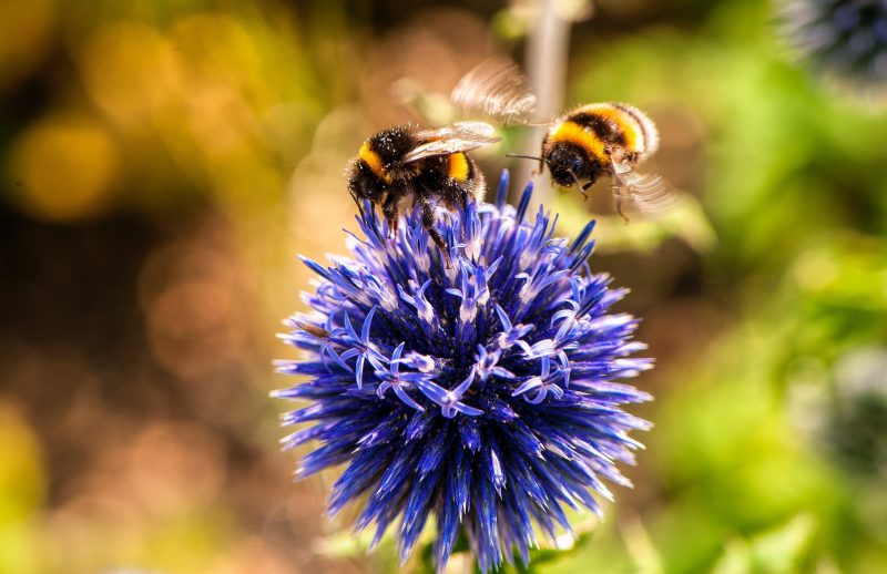 Bees pollinating a bud.