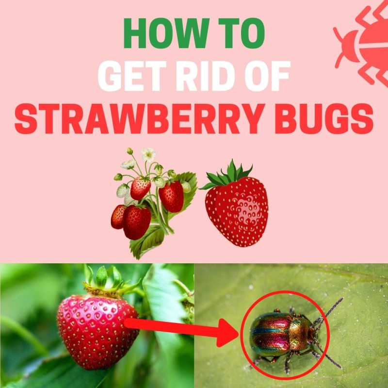 Stop strawberries being eaten naturally.
