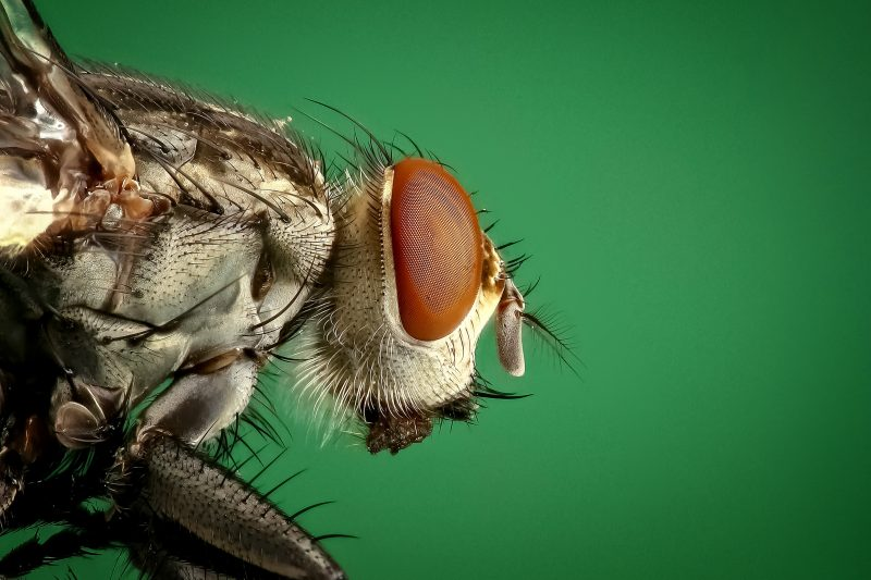 Types of houseflies.
