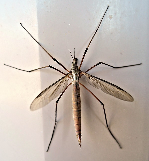 Crane fly on wall.