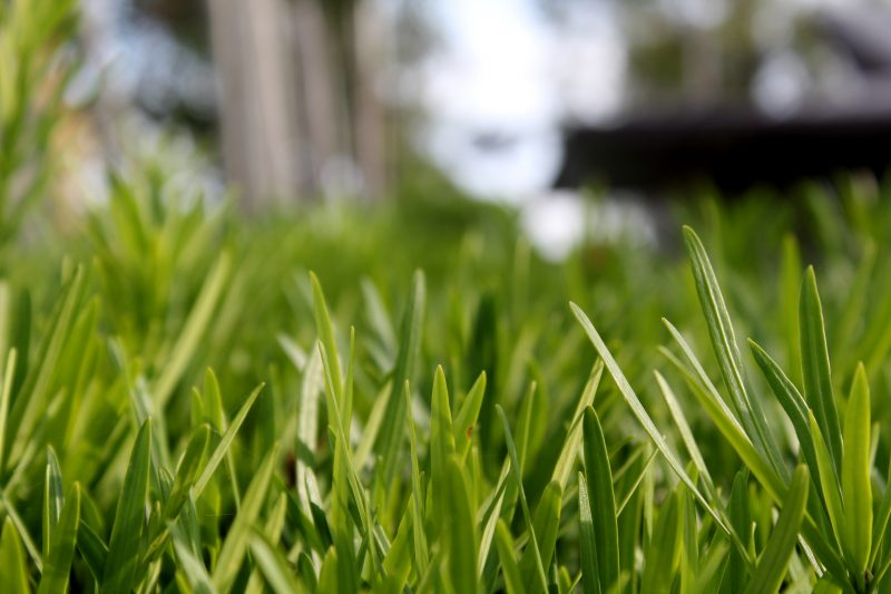 Eradicate click beetles lawn.