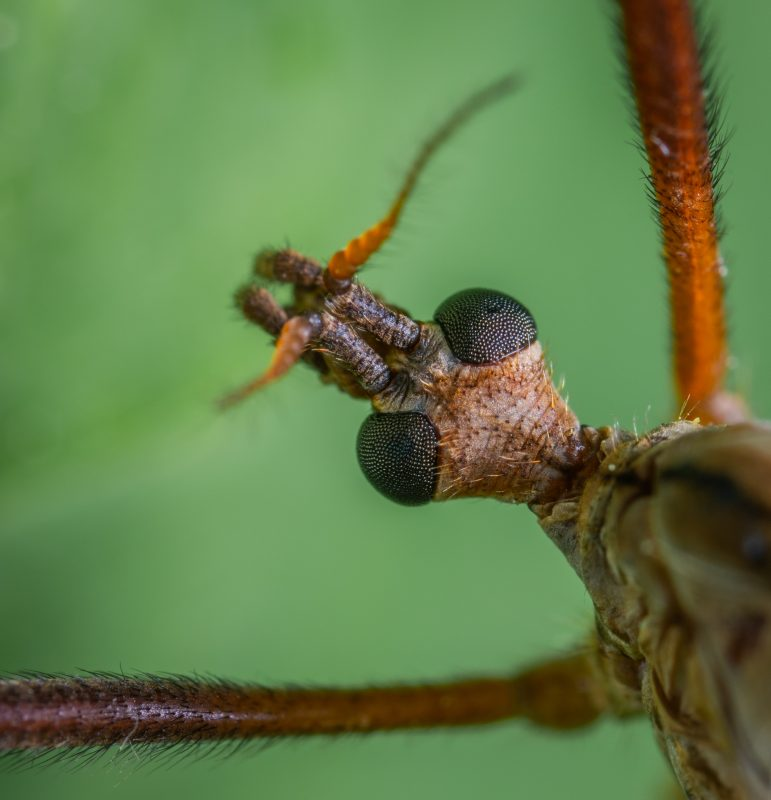 Crane fly adult.