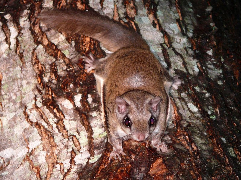 Flying squirrel pest.