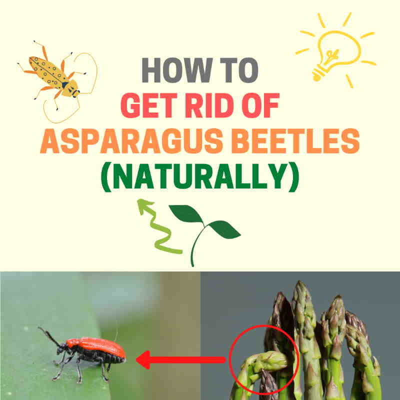 How to get rid of asparagus beetles.