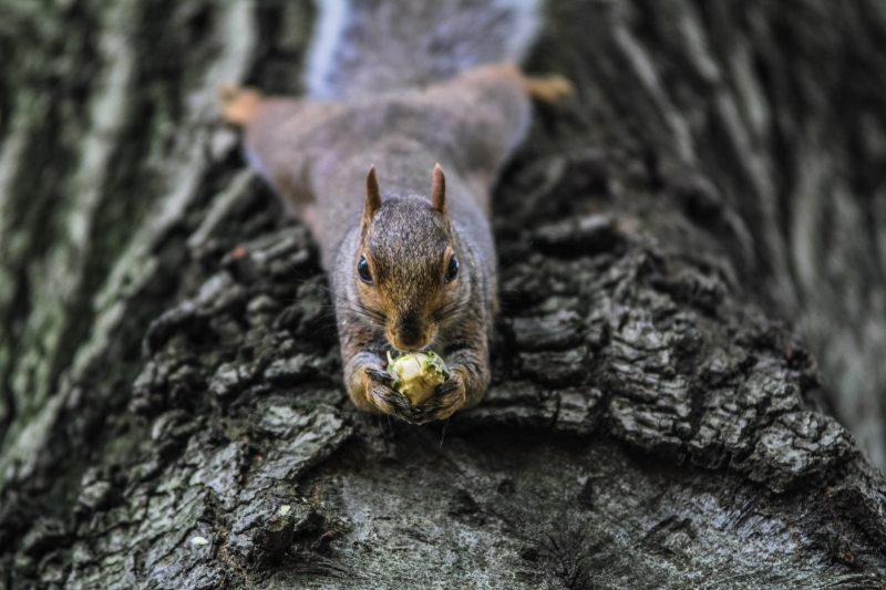 Flying squirrel eating attic debris.