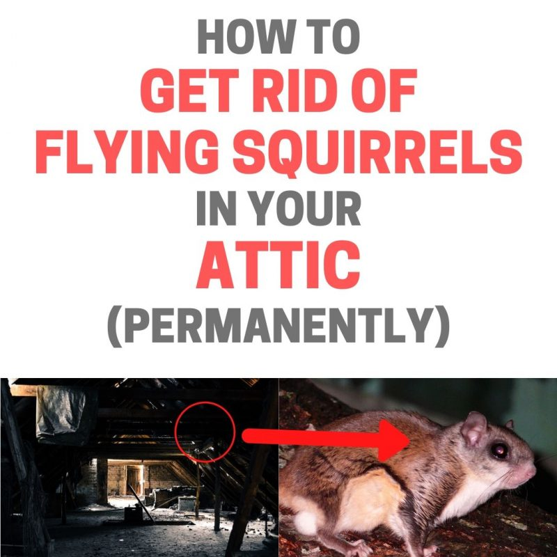 How To Get Rid Of Flying Squirrels In The Attic Naturally