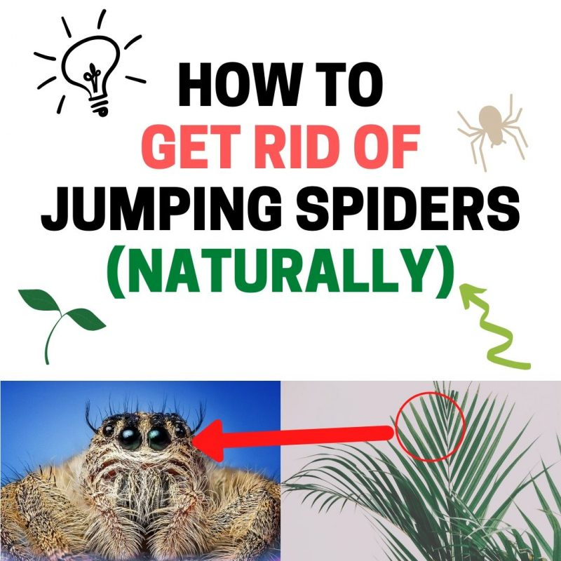How to get rid of jumping spiders in house.